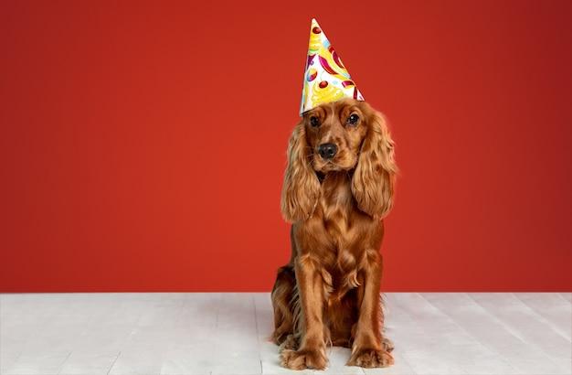 Presente de aniversário. jovem cão inglês cocker spaniel está posando. cachorrinho marrom brincalhão fofo ou animal de estimação está sentado no chão branco, isolado na parede vermelha. conceito de movimento, ação, movimento, amor de animais de estimação.
