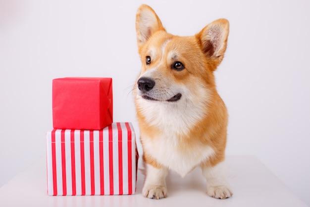 Presentes do corgi de galês do cão