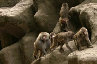 Primatas