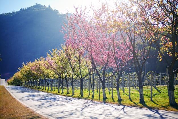 Primavera cherry blossom path através de uma estrada bonita, chiang mai, tailândia