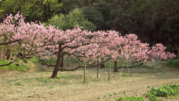 Primavera com cerejas em flor