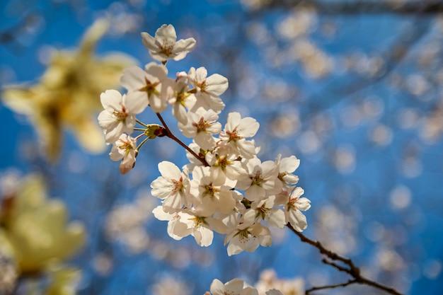 Primavera com flores de cerejeira brancas em plena floração
