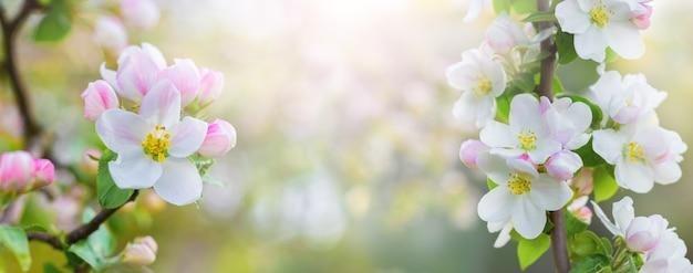 Primavera com flores de maçã em uma luz, panorama