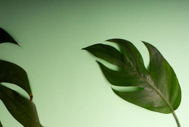 Primavera de folhas de palmeira tropical