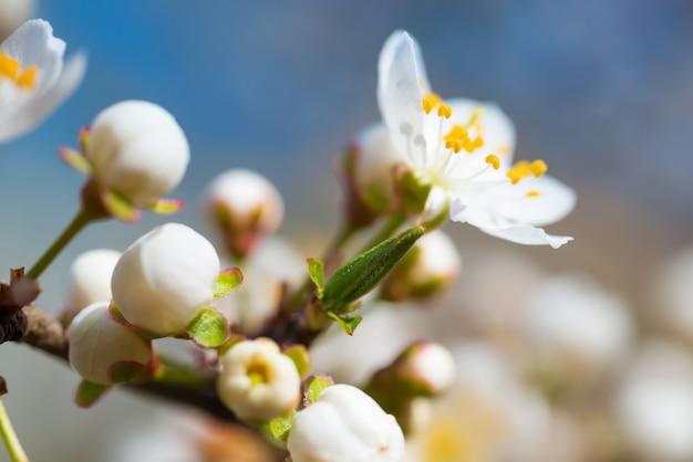 Primavera desabrochando flores brancas da primavera em uma ameixeira contra um fundo floral suave