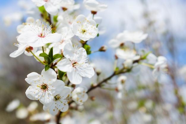 Primavera flor branca contra o céu azul
