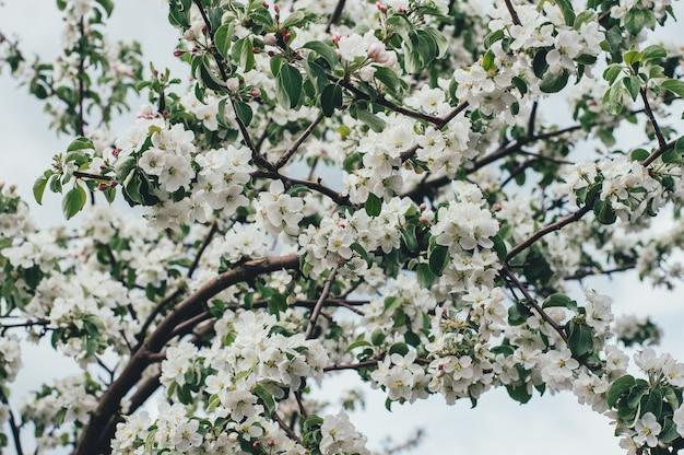 Primavera flor de maçã sobre a natureza