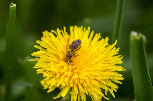 Primavera flor e abelha única margarida amarela