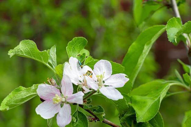 Primavera floração em jardins e florestas. peônias de árvores, flores silvestres. folhas verdes.