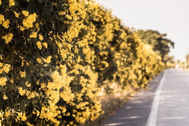 Primavera flores amarelas em uma cerca ao longo da estrada natureza bela viagem de fundo
