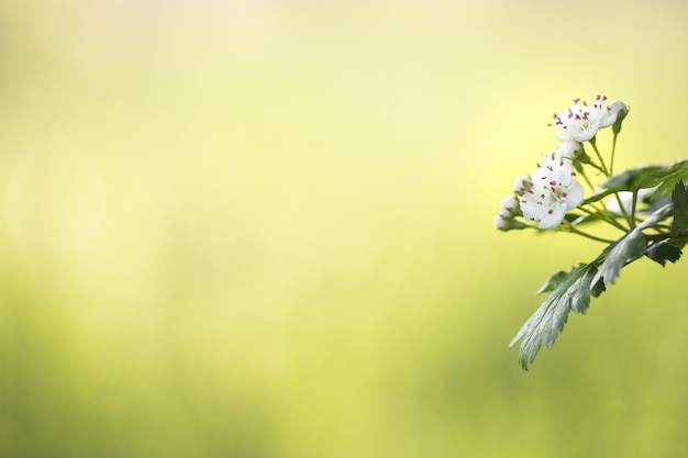 Primavera flores brancas de espinheiro