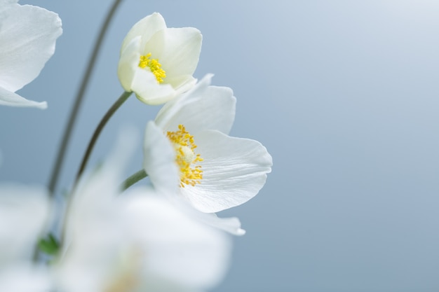 Primavera flores brancas sobre fundo azul. foco seletivo raso