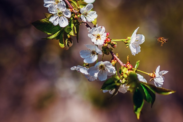 Primavera flores de cerejeira, flores brancas. flor de florescência na árvore de cereja.