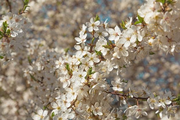 Primavera flores de cerejeira flores brancas