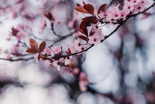 Primavera flores de cerejeira, flores cor de rosa
