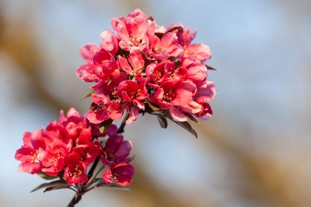 Primavera flores de cerejeira, flores cor de rosa.