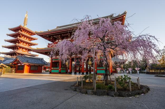 Primavera flores de cerejeira no templo de sensoji, tóquio, japão
