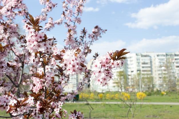 Primavera flores de cerejeira, rosa.