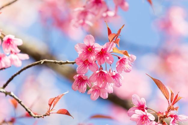 Primavera flores de cerejeira.