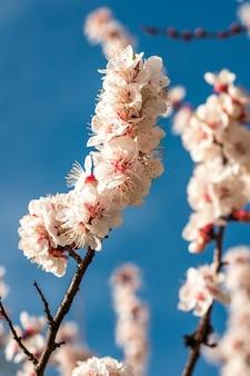 Primavera flores de damasco