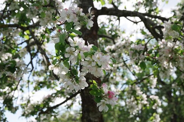 Primavera flores de maçã desabrochando no jardim primavera fundo de flores de maçã