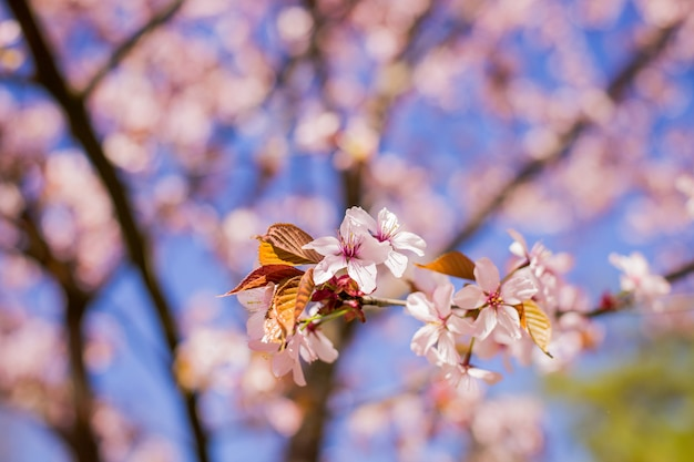 Primavera florescendo sakura cereja flores ramo