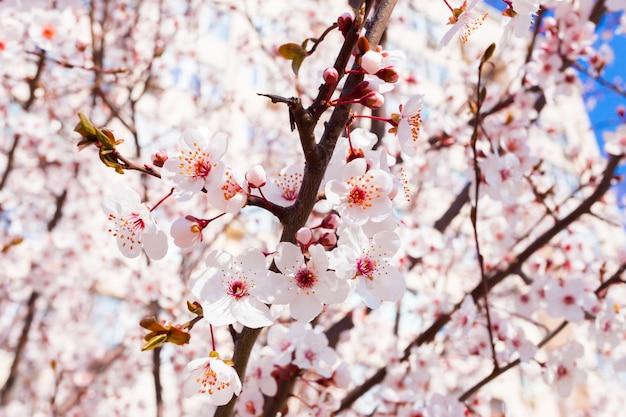 Primavera florescendo