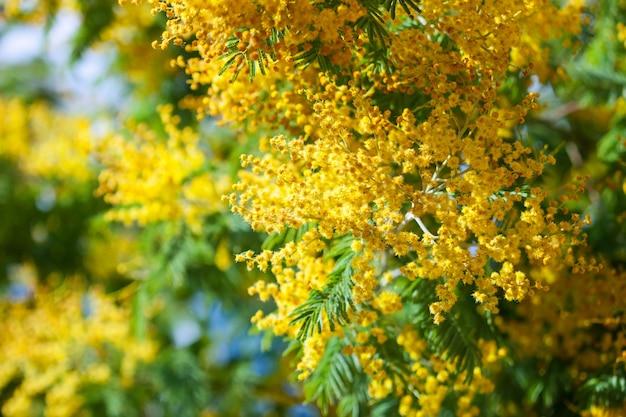 Primavera florescente acacia dealbata