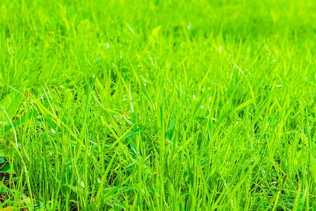 Primavera grama verde fresca