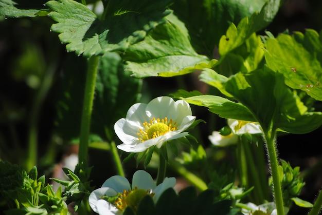 Primavera grande flores de morango
