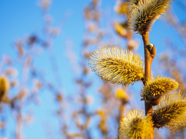 Primavera jovens florescendo botões contra um céu azul