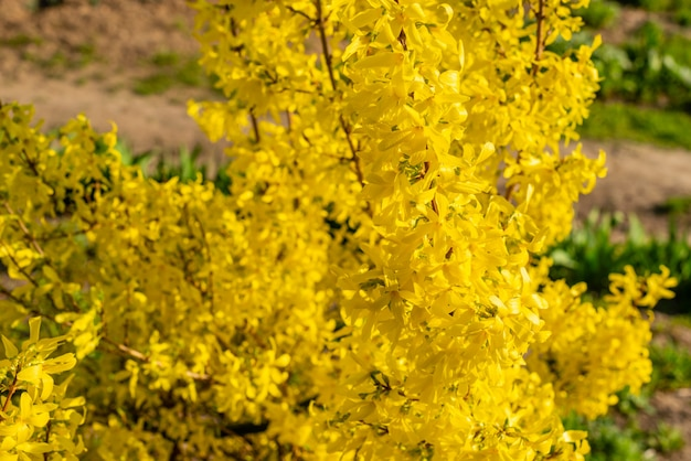 Primavera linda bush com folhas de cor ouro