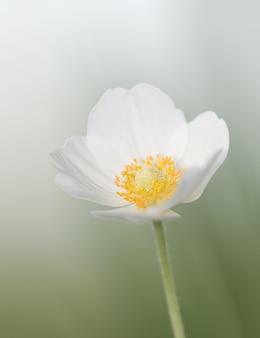 Primavera linda flor branca em um prado