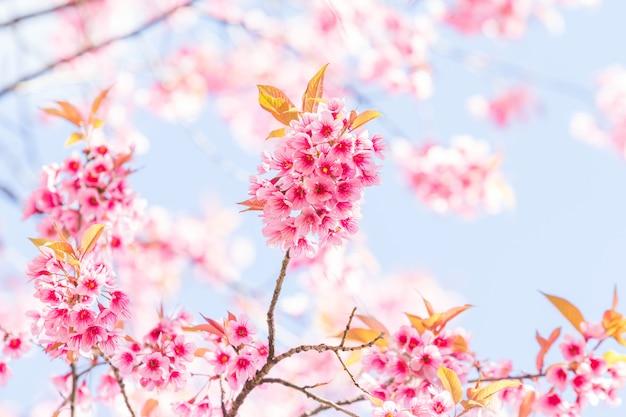 Primavera linda flor de cerejeira