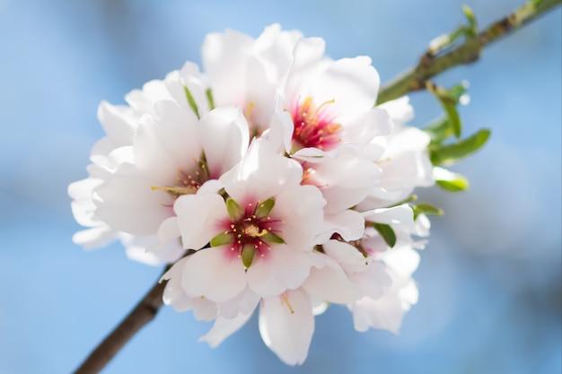 Primavera linda floral com ramos de amêndoa florescendo, bokeh, turva e textura
