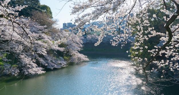 Primavera no parque e há belas árvores sakura florescendo em ambos os lados do rio