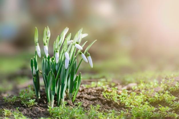 Primavera snowdrops na luz do sol