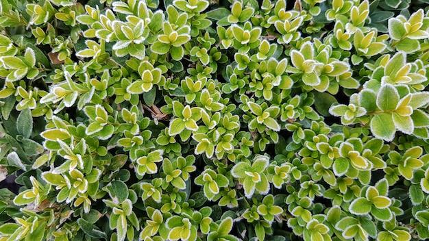 Primeira geada em arbustos verdes, vista superior. as folhas verdes nos galhos do arbusto são contornadas com geada. fundo ou papel de parede bonito.