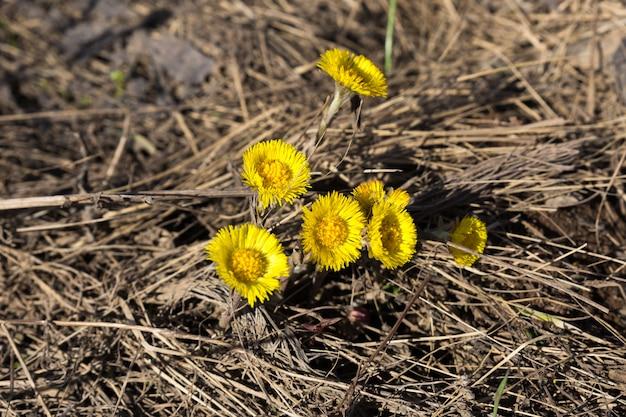 Primeira primavera flores mãe e madrasta