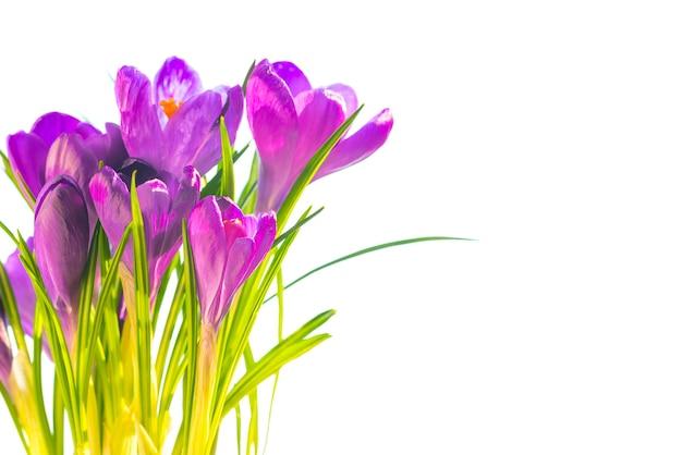 Primeiras flores da primavera - buquê de açafrões roxos isolado no fundo branco com copyspace