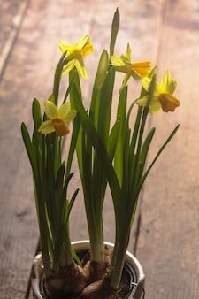 Primeiras flores da primavera - narciso amarelo na mesa