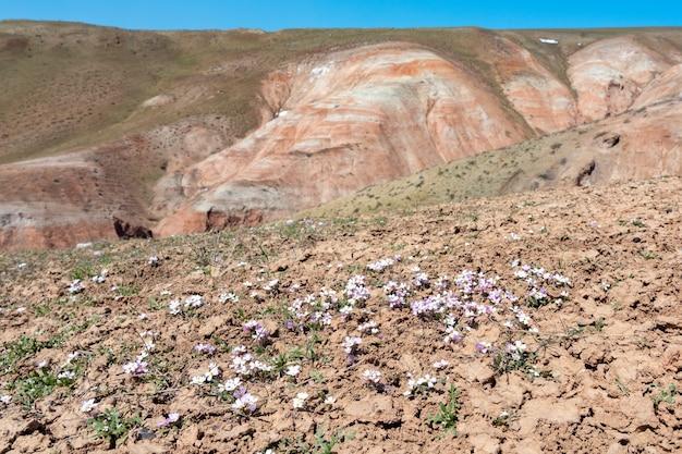 Primeiras flores da primavera no pico da montanha