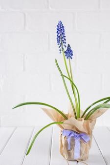 Primeiras flores de primavera azul muscari em panela com papel ofício no fundo branco