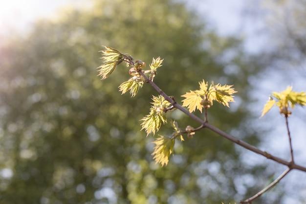 Primeiras plantas primaveris, estações, clima, novos começos.primeira primavera, os botões incham na árvore.