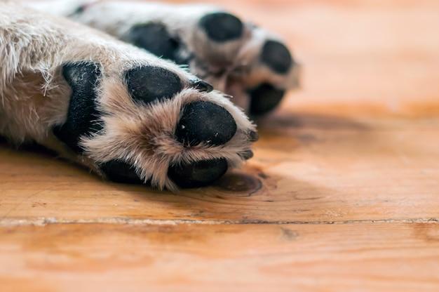Primeiro plano de patas de cachorro no chão de madeira