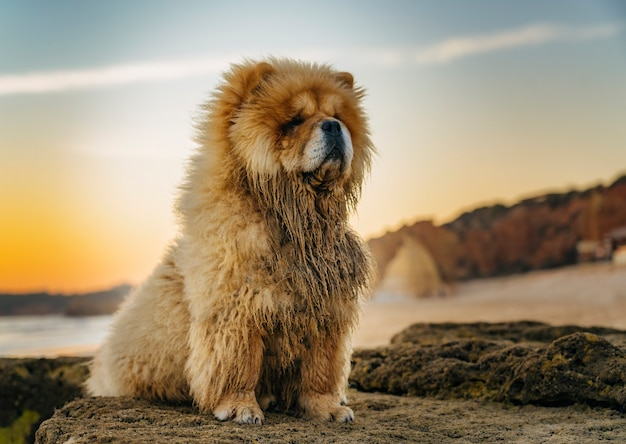 Primeiro plano do retrato de chow chow ao pôr do sol na praia no algarve, portugal