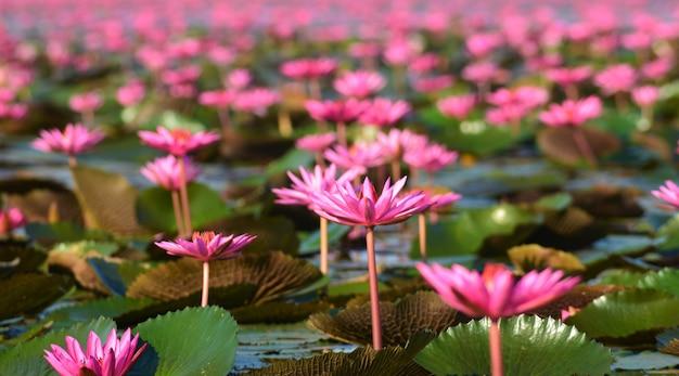 Primeiro plano foco água lilly e fundo rosa