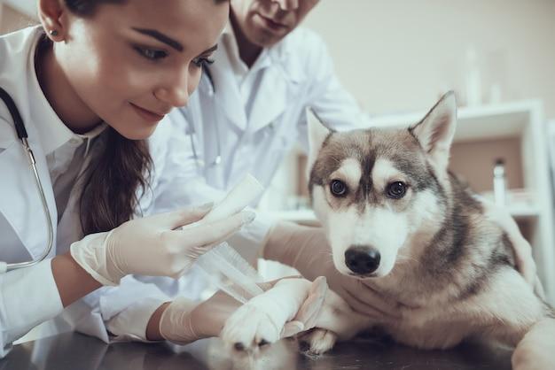 Primeiro socorro veterinário em bandagem clínica para pata