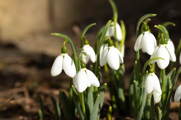 Primeiros flocos de neve brancos nas flores da primavera em um dia ensolarado