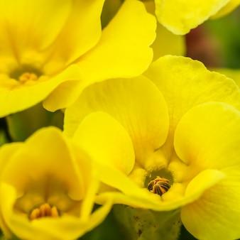 Prímula amarela florescendo no jardim da primavera